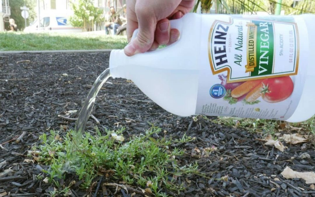 Vinegar can kill Weeds